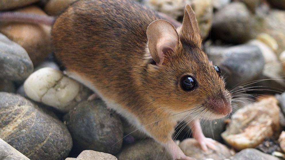 Cosas que te interesaran de 6 animales en peligro de extinción endémicos de Tlaxcala