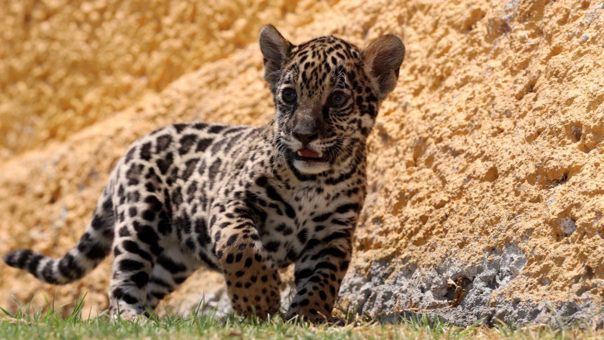 Puede ser tú el que escoja el nombre de cachorra jaguar del Zoológica de Tlaxcala