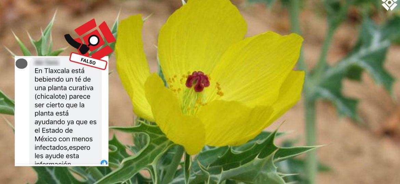 Chicalote-Falso-Fact-Checking-Tlaxcala-Covid-Coronavirus-México-Botánica-Ecología-Argemone-Mexicana