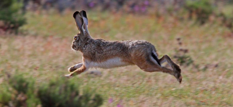 Liebres-Bosque-Tlaxcala-Animales-Peligro-Extinción