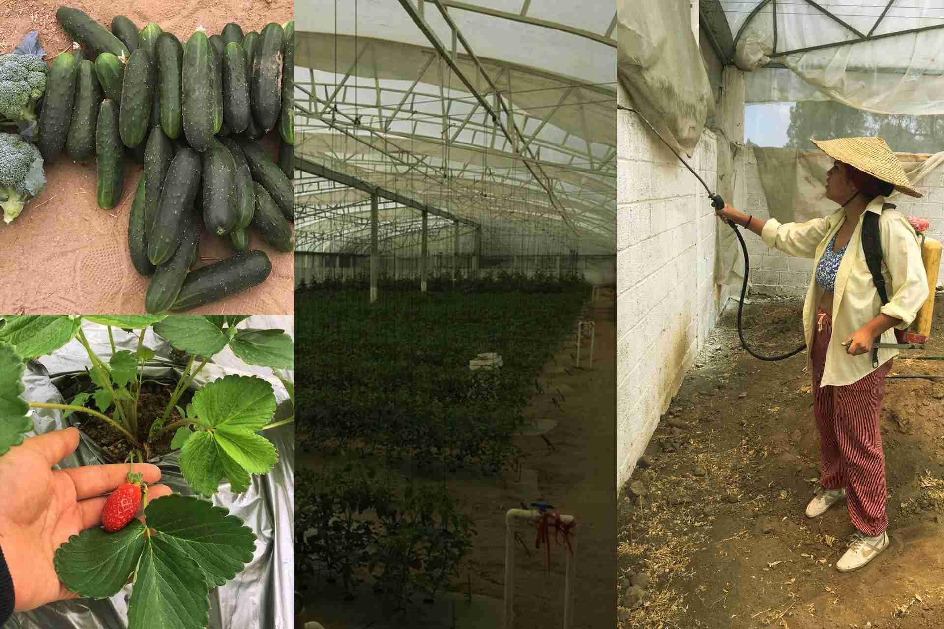 Invernadero-Tlaxcala-Ecología-Verde-Pepino-Brócoli-Cuarentena