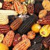 seguridad de los alimentos-maiz-planta-medicinal-prehispanica-1024x640