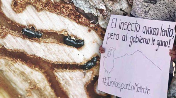 gusano descortezador-La Malinche-Tlaxcala-Comunidades-Unidas-Matlalcueyetl