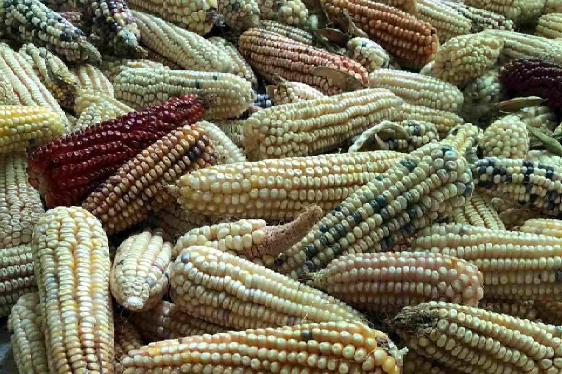 maíz-escenario-tlaxcala-mexico-covid-19-produccion