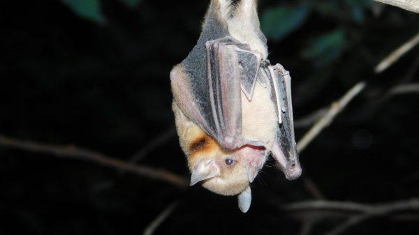 Murciélagos-Tlaxcala-Donadora